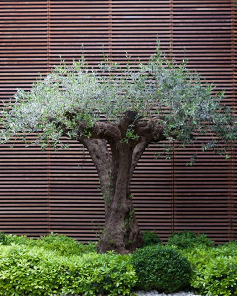 jardin-olivo